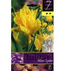 BULBI DI FIORE TULIPA YELLOW SPIDER N. 7