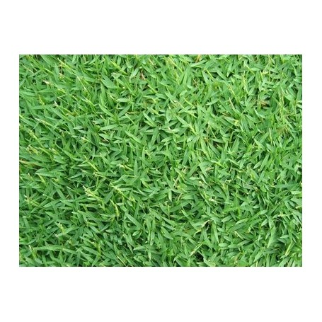 Semi di gramignone per prato carpet grass kg 1 for Prato gramignone